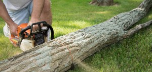 A man kneels in the grass while cutting a fallen locust tree trunk into smaller logs. The tip of the chain saw and saw dust with (motion blur) can be seen emerging from the cut area.